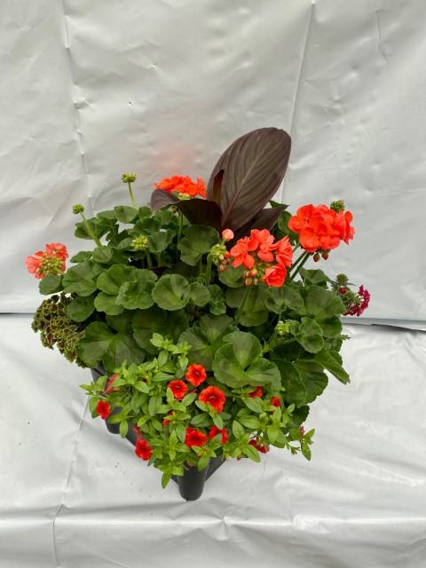 14 Orange Geranium Mix Small