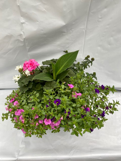 14 Pink Geranium Mix Small