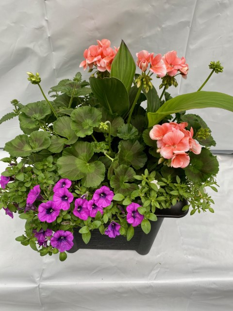 14 Salmon Geranium Mix Small