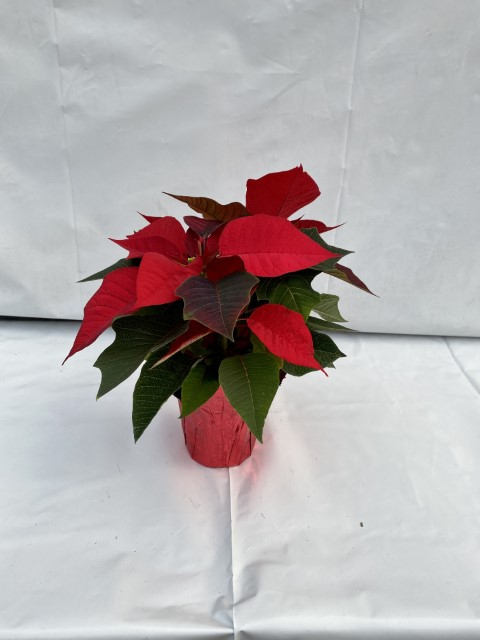 4 Poinsettia