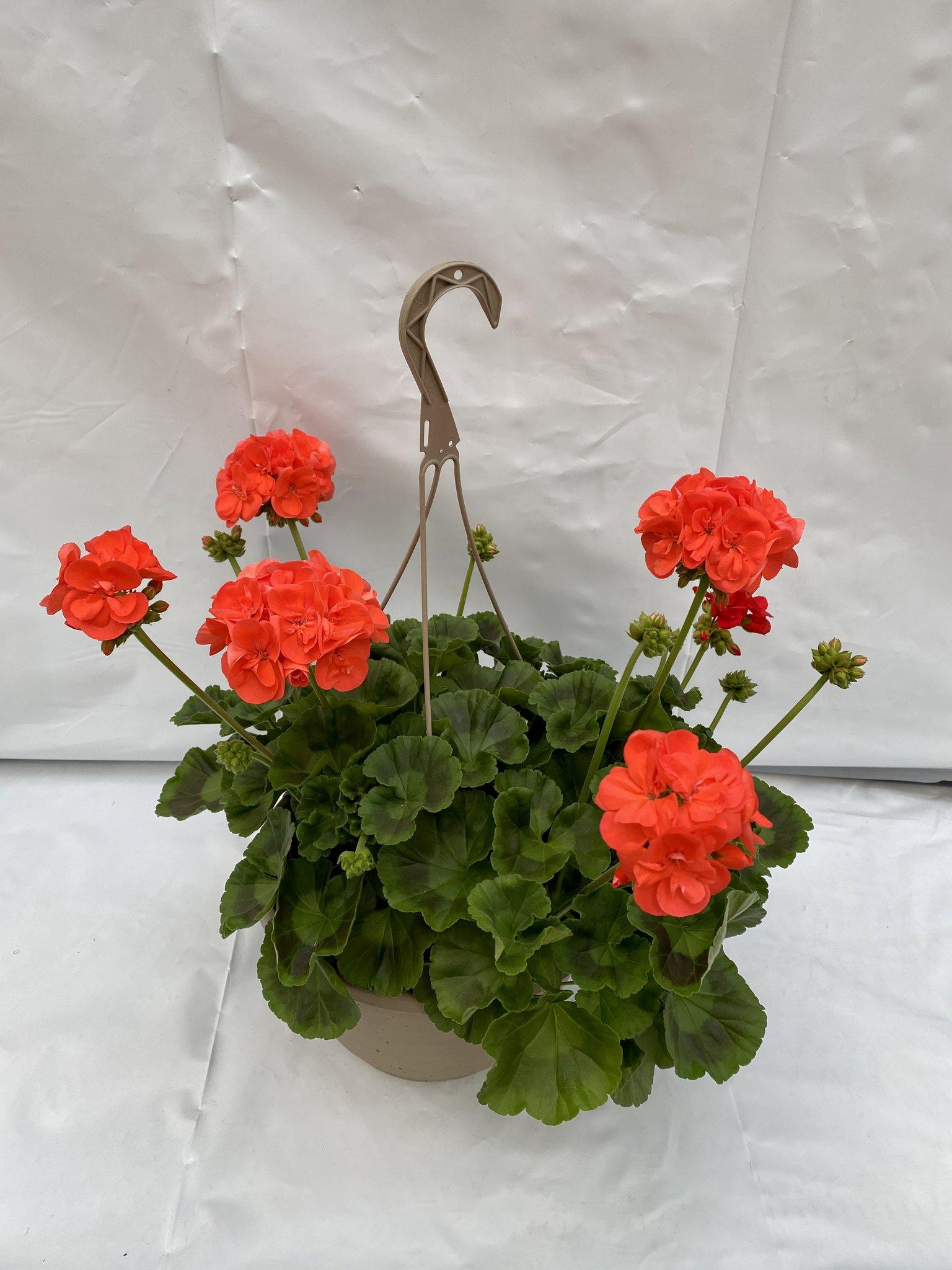 OrangeGeranium